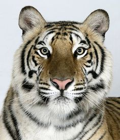 In pictures: The four faces of the Bengal tiger (Jannaki, 2 yr old female Bengal Tiger) J