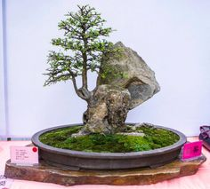 Bonsai - possible form for the Ginko I have.