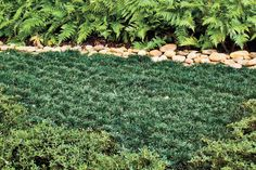 Dwarf Grasses Landscaping Outdoor landscaping wonderful dwarf mondo grass for home mondo grass ditch the mower 8 lawn free landscaping ideas southernliving pack in mondo grass to avoid weeds walt confesses to overplanting workwithnaturefo