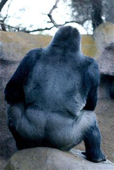 Big silver back gorilla