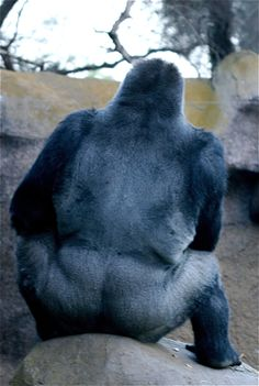 Big silver back gorilla