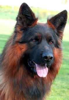 Perhaps one of the most gorgeous German Shepherds we have ever seen.  www.bullymake.com