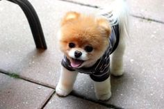 Is Boo the 'cutest dog' in the world a Facebook plant? (Facebook)