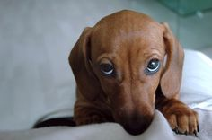 dachshund dressed up pictures | ... idressmypets.com - The Cutest little pet dress up site on the planet