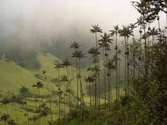 Discover Wax Palms of Cocora Valley in Salento, Colombia: The world's tallest palm trees look like the whimsical kind of plant you'd find in a Dr. Colombia Travel, Equador, Large Plants, Tropical Paradise, Garden Trees, Amazing Nature, Palm Trees, Mother Nature, Places To Visit