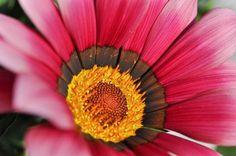 a daisy from Positano