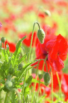 Common poppy • Papaver rhoeas • Corn poppy • Field poppy, Shirley poppy • Plants & Flowers • 99Roots.com