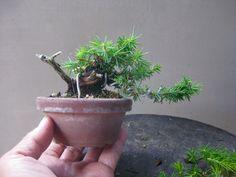盆栽:簡単にシンパク の画像|春嘉の盆栽工房