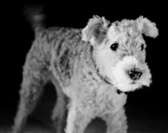 Lakeland terrier (picture only - no info)