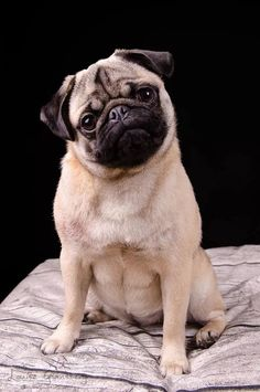 Cute Pug Puppies, Cute Dogs, Doggies, Silly Dogs, Funny Dogs, Cute Pug Pictures, Baby Animals, Cute Animals, Dog Emoji