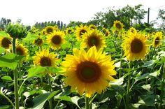 Cara Menanam Bunga Matahari Dengan Baik dan Benar http://slosa.blogspot.com/2016/04/cara-menanam-bunga-matahari-dengan-baik-dan-benar.html