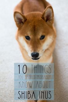 Are you considering a Shiba Inu as a pet? Straight from an owner, learn all about the Shiba Inu temperament, personality, quirks, & more of this dog breed.