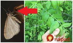 Listy z orecha ani zďaleka nie sú obyčajné. Ak viete, ako, môžete ich perfektne využiť v záhrade, domácnosti aj pre zdravie. Sú neoceniteľní v boji proti voškám, ochránia kapustu pred húsenicou a sú fantastické aj