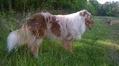Hapache, chien Berger australien