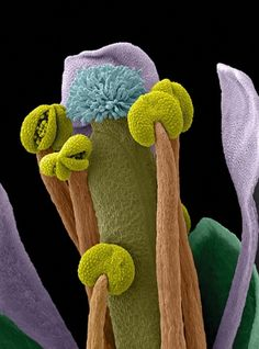 Scanning electron micrograph (SEM) of an Arabidopsis thaliana flower, also commonly known as thale cress.