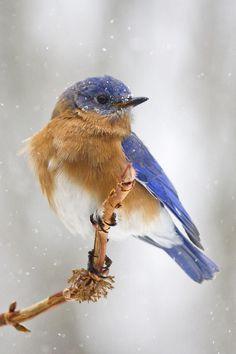 mistymorningme: BLUEBIRD in the snow by cheryl.rose83