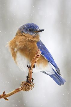 mistymorningme:Bluebird in the snow by cheryl.rose83