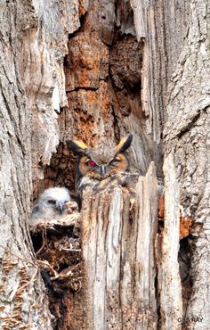 Great Horned Owl in Beautiful Pictures