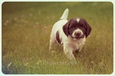 Baby Milo, the English Springer spaniel puppy    Prints and cards of this little cutie @ www.paqueenie.com/?p=12895