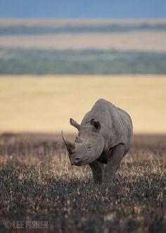 Black Rhino by Lee Fisher