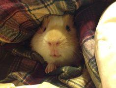 Guinea Pig.... It's lips! LoL