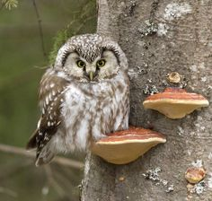 Tengmalm Owl (Aegolius funereus) by Tobias Svensson Pinned by www.myowlbarn.com
