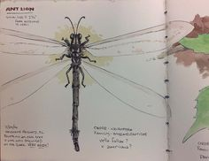 A large ant lion from my Central Florida Natural History drawing book. Vella fallax - I think.