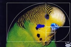 """Budgie Fibonacci"" Fibonacci numbers start with 0 and 1, and each following number is the sum of the two previous ones. So the sequence of Fibonacci numbers goes like this: 0, 1, 1, 2, 3, 5, 8, 13, 21, 34, 55, 89, and so on."