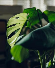 Urban Jungle - plants - vegetal - green mood - home Big Leaf Plants, Air Plants, Indoor Plants, Plant Leaves, Monstera Deliciosa, Succulent Hanging Planter, Plants Are Friends, Plant Aesthetic, Plant Painting