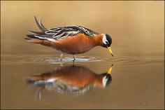 Red Phalarope Phalaropus fulicarius One accepted record: Packery Channel jetties area April 1, 2012 (TBRC 2012-32; TPRF3024)