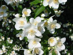Jasmine Flower   Romantic Flowers: Jasmine Flowers