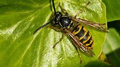 Tìm hiểu về ong bắp cày, sự khác nhau giữa ong bắp cày và ong thường