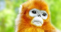 Cute golden Snub-Nosed Monkey in his natural habitat of wildlife. Wildlife Safari, Bamboo Plants, Ancient Mysteries, Red Panda, Prehistoric, Habitats, Monkey, Fun Facts, Africa