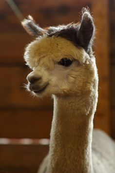 I would love to raise Alpacas!