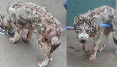 Doente e abandonada, Husky faz recuperação maravilhosa graças a um pouco de amor
