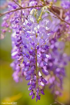 Wisteria's always bring back rememberances of playing in the yard during my childhood days...whenever we'd play house would pretend they were cones of ice cream!