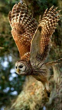 Birds of Prey - Barred owl in flight.