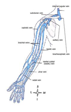 Names of veins in the arm. Anatomy and physiology | Get Schooled ...