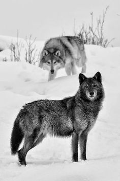 Winter wolves.