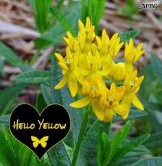 The 'hello yellow' variety of butterfly weed can be mixed in with the original orange Ascelpias tuberosa to create a colorful display of sunny milkweed flowers for precious pollinators.