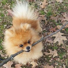 One of my biggest dreams is to have my own little Pomeranian ♥