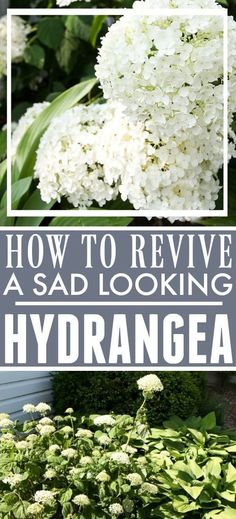 Dying hydrangea plants can ruin the look of your beautiful flower gardens. Find out how to revive hydrangeas with this simple hydrangea care trick! Hydrangea Potted, Pruning Hydrangeas, Hortensia Hydrangea, Hydrangea Landscaping, Limelight Hydrangea, Hydrangea Bush, Hydrangea Garden, Hydrangea Flower, Front Yard Landscaping