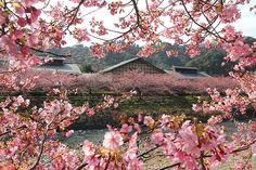 Cherry Blossom Report 2013: Kawazu Report