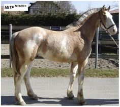 clydesdale horses for sale - Google Search