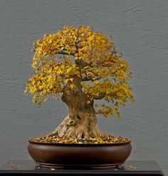Walter Pall Bonsai Adventures: Trident maple #9