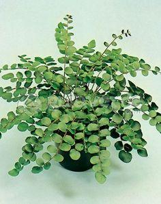 Helecho botón-Pellaea rotundifolia