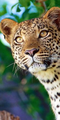 Wonderful face of a Jaguar Nature Animals, Animals And Pets, Cute Animals, Wild Animals, Baby Animals, Beautiful Cats, Animals Beautiful, Gorgeous Eyes, Big Cats