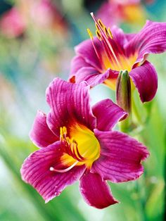 MEDIUM - Light:      Sun,Part Sun  Zones:      3-10  Plant Type:      Perennial  Plant Height:      6 inches to 4 feet tall  Plant Width:      1-3 feet wide  Landscape Uses:      Containers,Beds & Borders,Privacy,Slopes,Groundcover  Special Features:      Flowers,Fragrant,Drought Tolerant,Easy to Grow