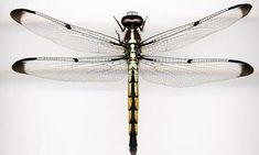 ambién tienen una estructura del cuerpo robusto para apoyar los músculos masivos que propulsan sus alas grandes y anchas. Las libélulas no t...