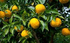 How to grow yuzu
